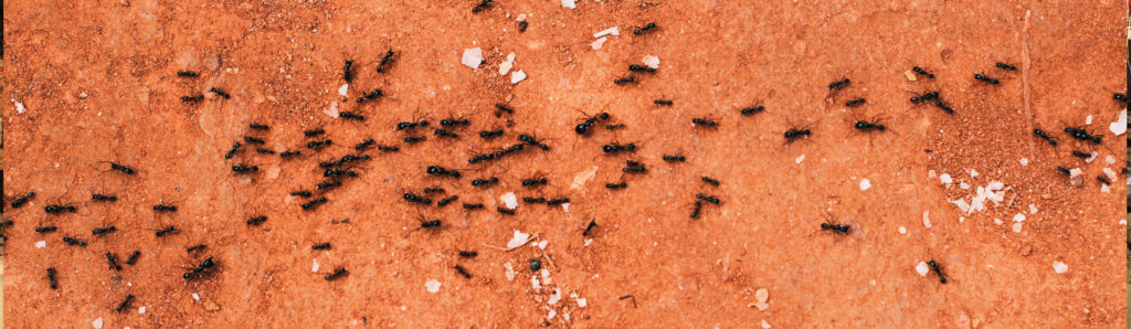 Ant control pest management